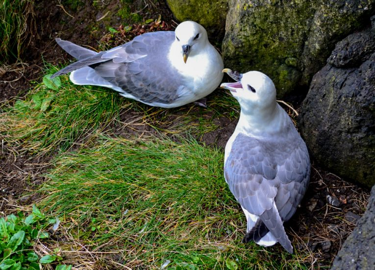 Nesting Kittiwakes Birds,Rathlin Island Ferry Day Trip from Ballycastle
